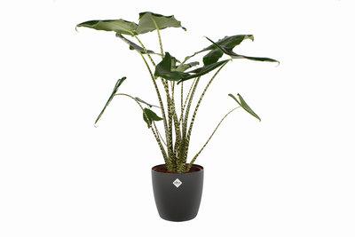 Alocasia Zebrina met Elho sierpot(Alocasia Zebrina)