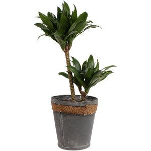 Dracaena fragrans compacta in grijze chipwood pot (Dracaena Fragrans Compacta)