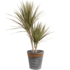 Dracaena Marginata Bicolour in grijze chipwood pot (Dracaena Marginata Bicolour)_2