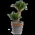 Dracaena fragrans compacta in grijze chipwood pot (Dracaena Fragrans Compacta)_2